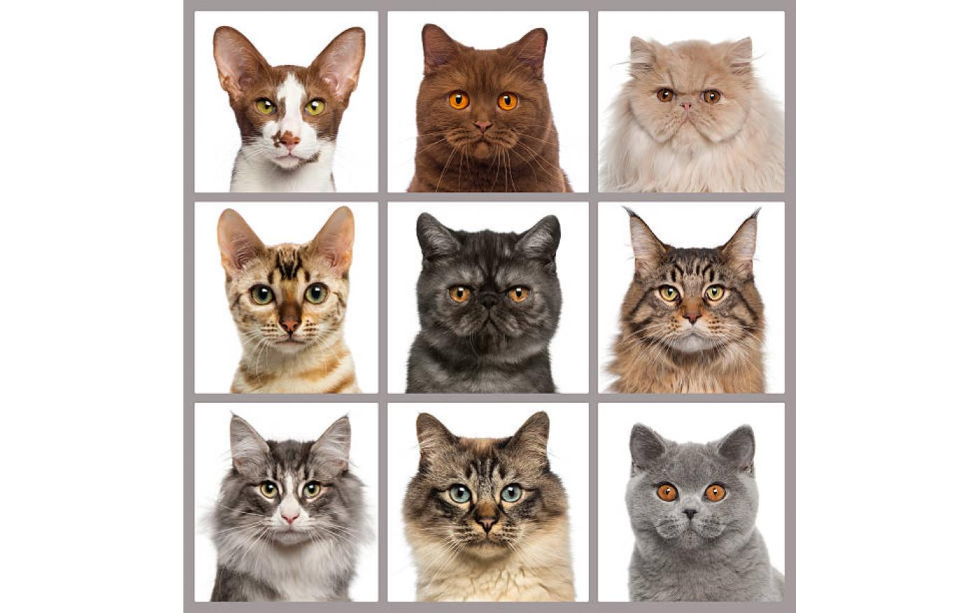 5 Best Indoor Cat Breeds Cat Evolution