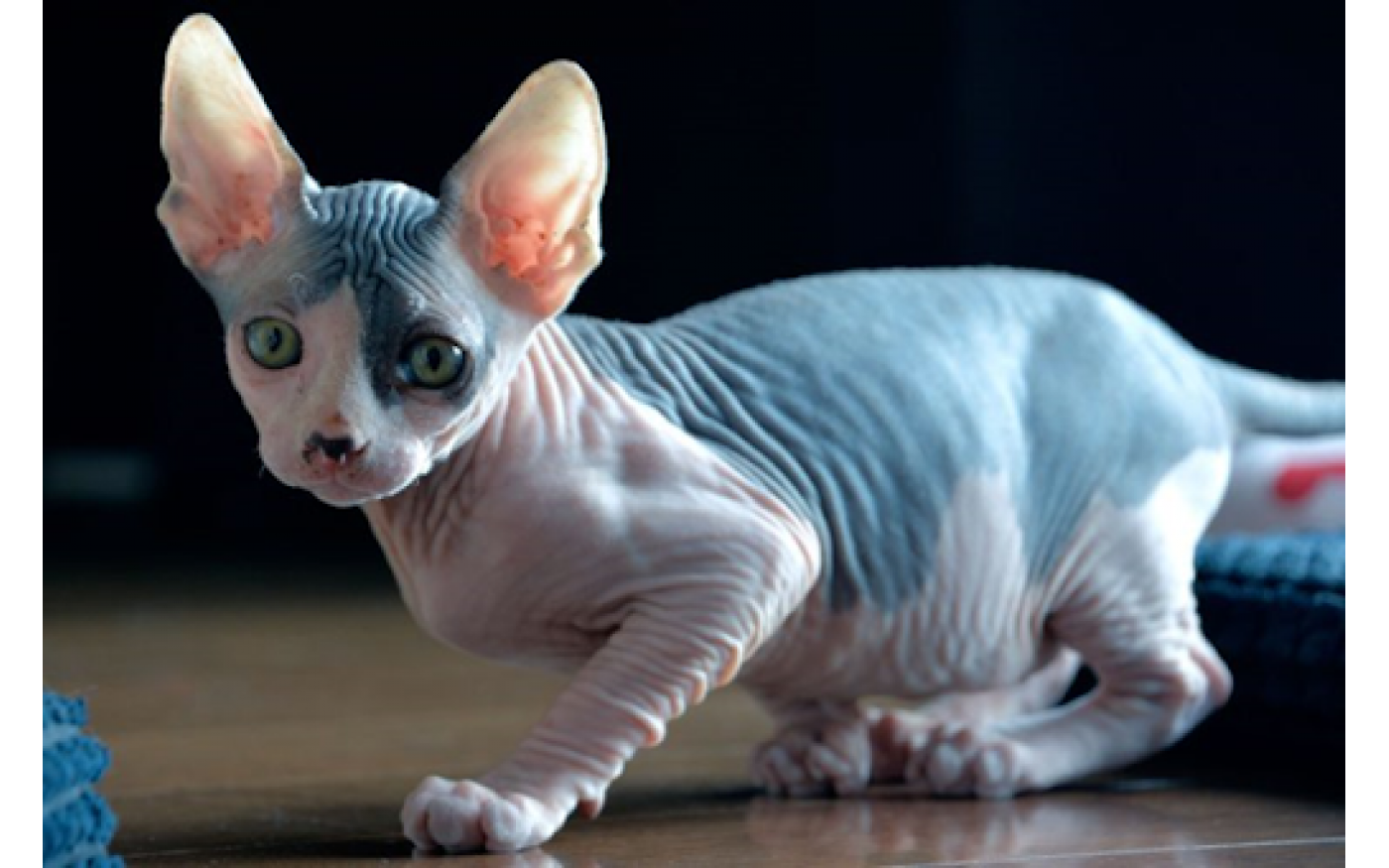 8 Facts About Sphynx Cats Cat Evolution